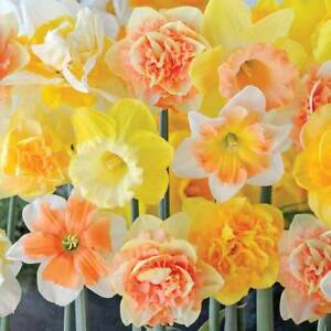 Daffodil Bulbs Plants Hardy Spring Flowering Citrus Sorbet Packs Of