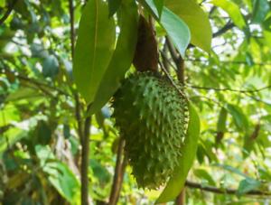 100/% Fresh Soursop Seeds Guanabana Graviola Annona Muricata Seeds Tropical Fruit
