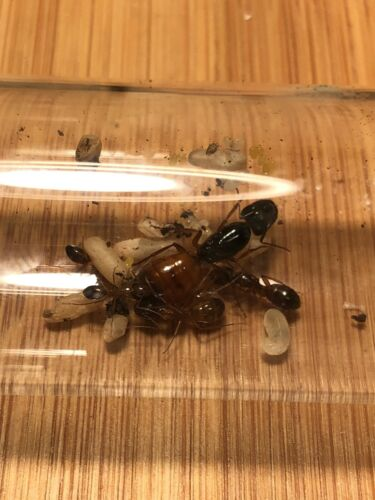 Camponotus sansabeanus small colony Ant Colony Queen Ant Live Ants -Feeder
