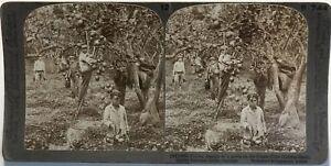 Palermo-Limoni-Palermo-Italia-Fotografia-Stereo-Vintage-Citrato
