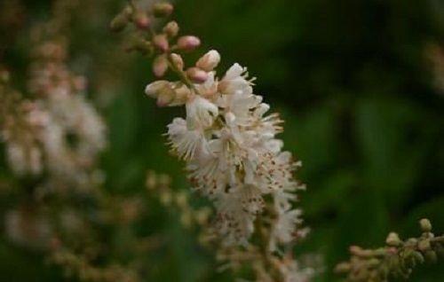 Salix alnifolia /'paniculata/' Poivron Bush 9 cm Pot veuillez lire description