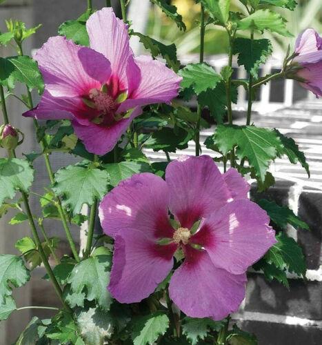 Hibiscus Hardy Perennial Flower Shrub Garden Plant /'Big Hibiskiss/' 9cm Pots T/&M