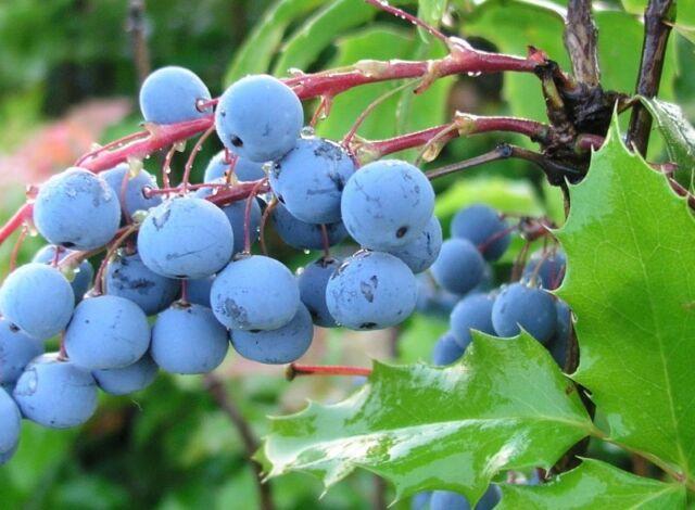 Oregon Grape Seed Evergreen Medium Shrub Edible Fruit Grows Almost Anywhere