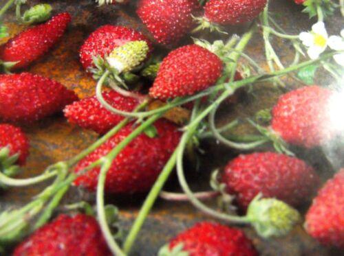 Super Lecker  Buschig Saatgut Sämereien P.97 Erdbeere  Samen Baron Solemacher