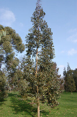 Urn Gum (Eucalyptus urnigera) - Seeds
