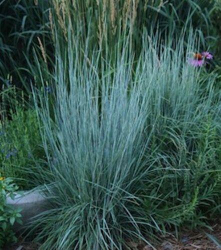 Schizachyrium scoparium// Little Bluestem// Ornamental Grass// Plant// CANADA