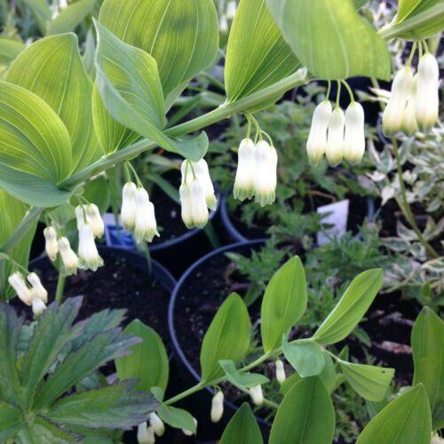 Solomon Seal Herbaceous Plant Perennial Polygonatum Plant £6.99 1 litre pot