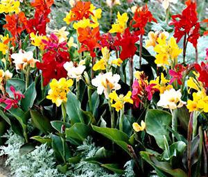 CANNA-INDICA-MIXED-COLORS-Canna-Indica-Hybrids-100-Bulk-Seeds