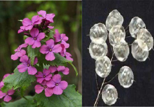 Rare Canadian Biennial Wildflower Silver Dollar Plant Seeds 50 Seeds