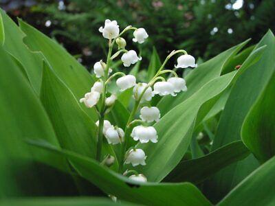 1 Jeune Plant De Muguet - Vivace Facile - Muguet De Mai Long Performance Life