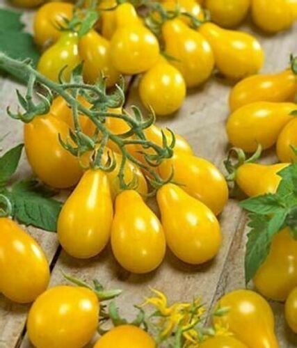 Organic /'YELLOW PEAR/' Heirloom Cherry Tomato 30 Seeds Delicious