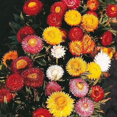 PAPER DAISY 500+ seeds BULK NATIVE Strawflower Everlasting Daisy HELICHRYSUM