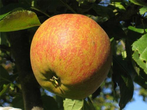 1x 4ft Patio Cox/'s Orange Pippin Apple Fruit Tree m9 Dwarf Self Fertile