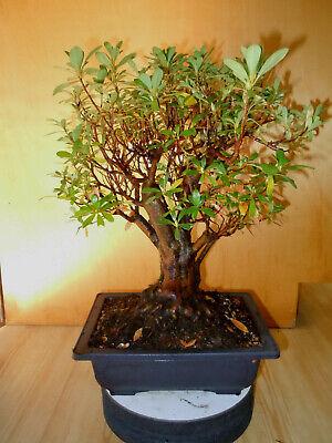 19 Year Old Satsuki Azalea 2 Inch Trunk 4 Inch Nebari Pink Flowers Bonsai Tree 691171766842 Ebay