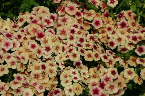 PHLOX  CHERRY CARMEL ANNUAL /& PERENNIAL SELFSOWN FLOWER SEEDS FRAGRANT 30