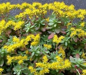 Succulent sedum palmeri yellow flowers strong stem cutting easy to image is loading succulent sedum palmeri yellow flowers strong stem cutting mightylinksfo