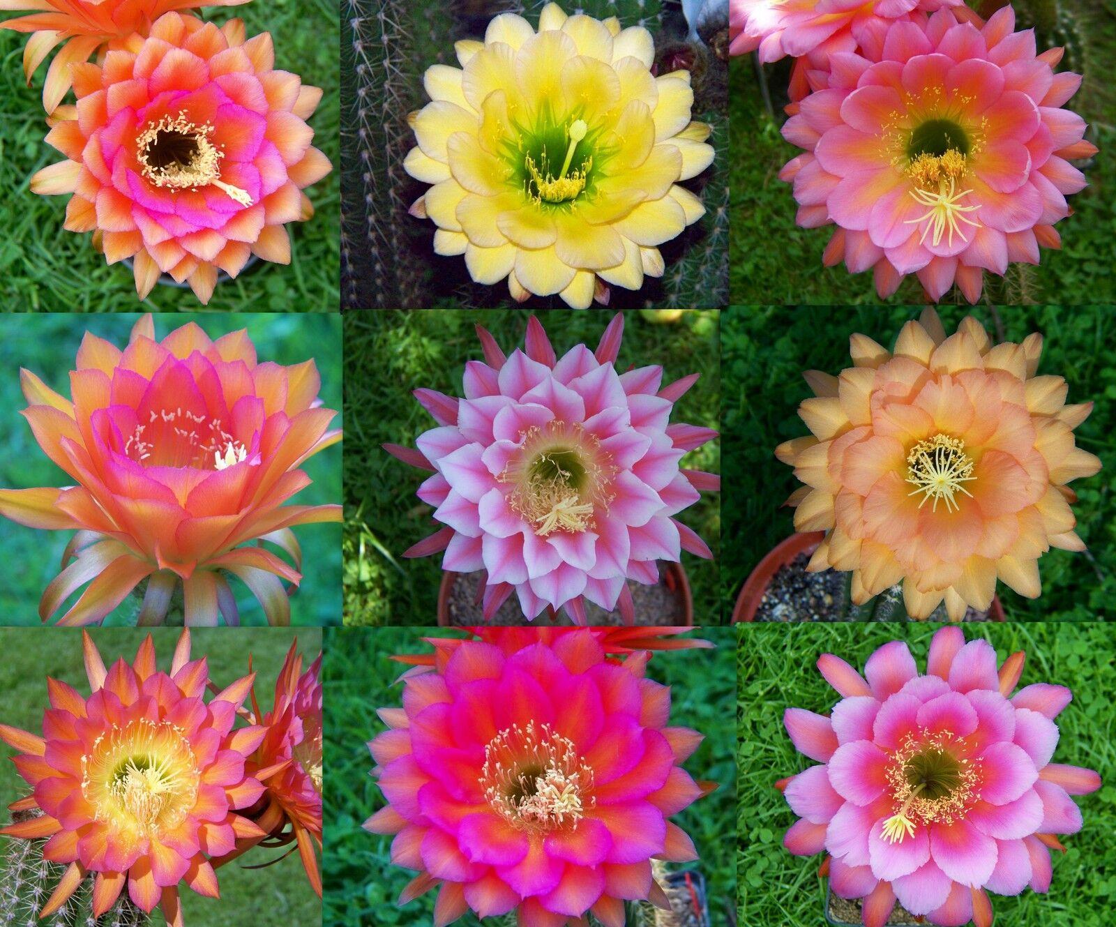 10000 semi seeds Trichocereus ibrido mix fresh seeds
