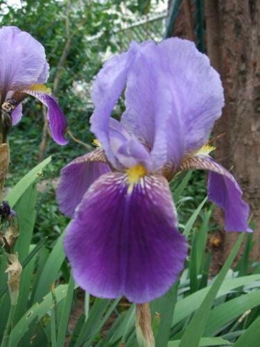 """Schwertlilie Bartiris 6811 1 Rhizomstück /""""Violetta/""""  violett"""
