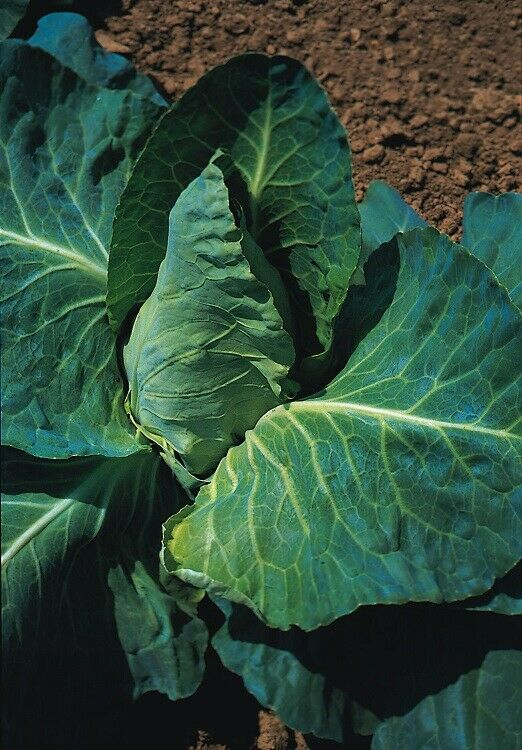 (228) 'KINGS' QUALITY cabbage grey hound - seeds- garden Vegetable