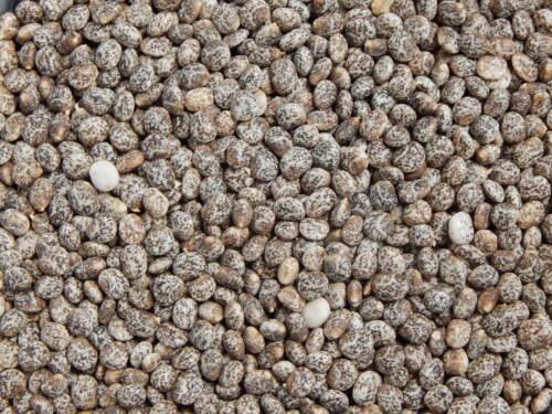 LUPINE 2,5 kg Süßlupine GELB Z Saatgut Stickstoffdünger Gründünger Futterpflanze