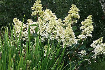 Hydrangea paniculata 'Tardiva': garden ready, hardy perennial plant
