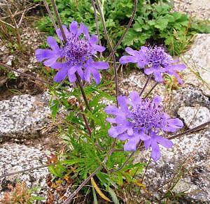 Scabiosa japonica alpina 1 x Pincushion Flower Plant in 9cm Pot