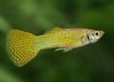 x10 MALES / x10 FEMALES - GOLD COBRA DELTA GUPPY PAIR - FISH LIVE -FREE SHIPPING