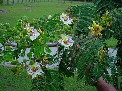 Delonix Decaryi Tree, Near Threatened Fengoky, Poinciana 5 Seeds