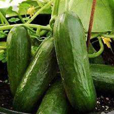 Cucumber Vinogradnaya Grozd F1 Vegetable Seeds Hybrid NON GMO