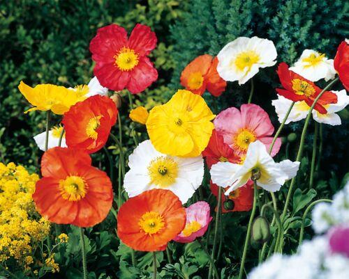 Fleur-Papaver-Spring Fever Mix 50 graines