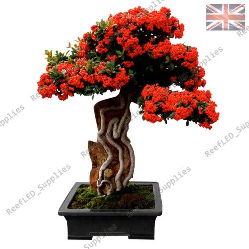 RARE Pyracantha scarlet firethorn Albero Bonsai 10 semi vitali-UK Venditore