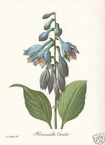 Blaue Seerose Lotusblume Nymphaea FAKSIMILE von Pierre Joseph Redoute 1833