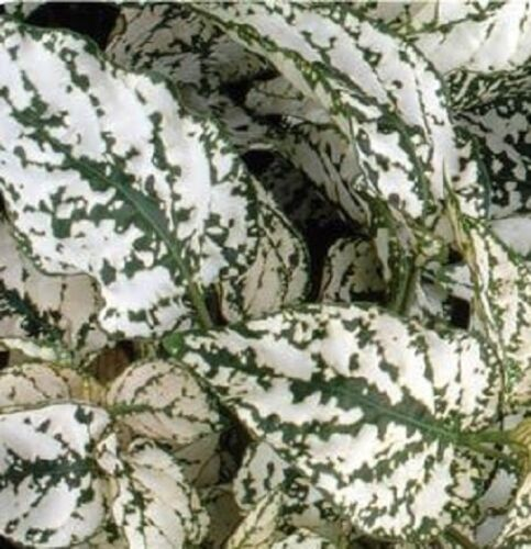 50 Hypoestes Seeds Select White Hypoestes Seeds