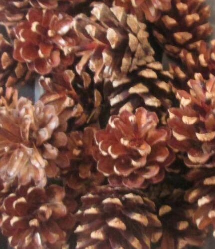 50 Grand Épicéa Sapin pommes de pin naturel véritable Floral Arts Craft couronnes de Noël