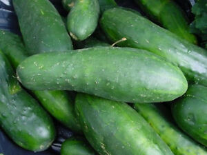 Ashley-Long-Green-Cucumber-Heirloom-50-Seed-039-s-034-FREE-SHIPPING-034-lt-Non-GMO-gt