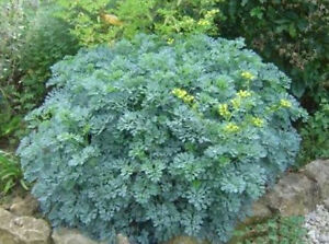 Details about RUE 100 seeds UNUSUAL MEDICINAL HERB Repels fleas and flies  garden witchcraft