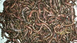 European-Nightcrawlers-Euros-Composting-and-Ice-Fishing-Worms-Free-Shipping