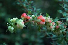 Wilson's Barberry - Berberis Wilsoniae - 25 seeds -  Shrub - Berries - Hedging