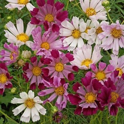 COSMOS SEASHELLS 30 FRESH FLOWER SEEDS FREE USA SHIPPING