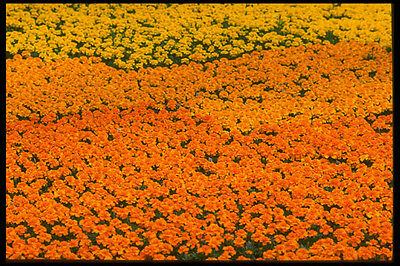Art Hot Sale 483074 Marigolds A4 Photo Texture Print To Rank First Among Similar Products