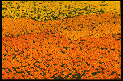 Hot Sale 483074 Marigolds A4 Photo Texture Print To Rank First Among Similar Products Art