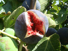 Fig Tree FICUS CARICA Babits, large fruited with red flesh, SELF FERTILE 9cm pot