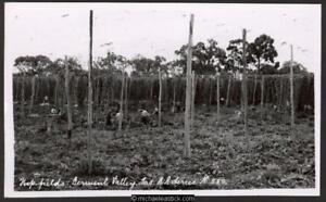 Hop Fields, Derwent Valley, Tas