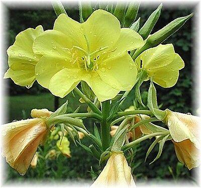 *** Nachtkerzenöl, (Oenothera biennis), raff. DAC, 50ml