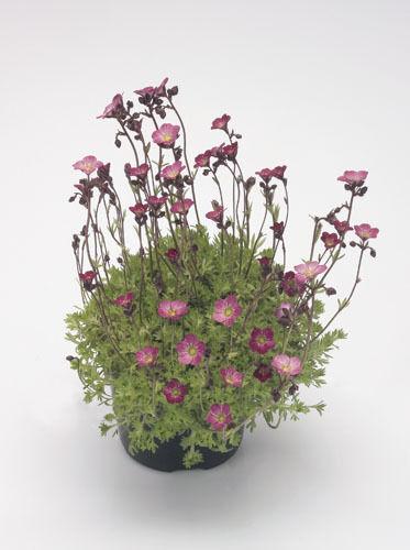 Fleur-Saxifrage-Saxifraga arendsii-Tapis de Fleurs 1000 graines-grand