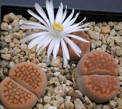 LIVING STONES (Lithops hallii) 20 seeds