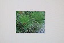10 Samen ECHTER Papyrus,Cyperus papyrus,ägypt.Papierpflanze,#268