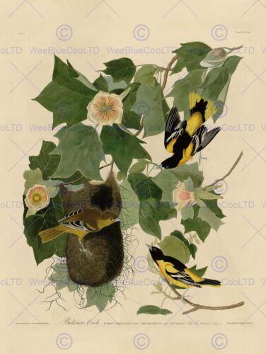PAINTING BOOK PAGE BIRDS AMERICA AUDUBON BALTIMORE ORIOLE POSTER PRINT BB12457B