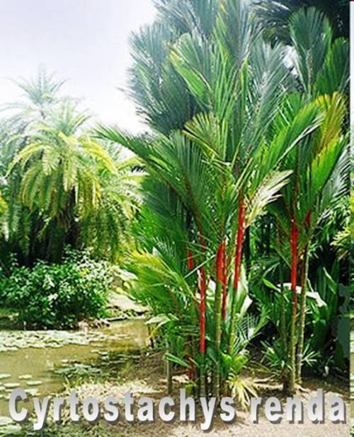 Cyrtostachys renda, Rotstielpalme, Siegellackpalme, Lipstick Palm, 10 Samen