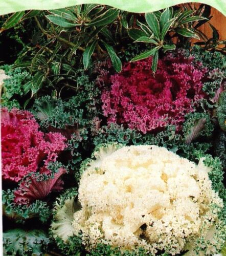 40 HIGH QUALITY FLOWER SEEDS //BUZZY 4075 ORNAMENTAL KALE FAST GROWING